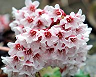 Hardy African Violet – Bergenia cilia…