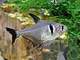 熱帯魚 生体 ブラックファントムテトラ 2-3cm 3匹 【ネットファームジャパン】