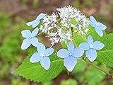 【1年間枯れ保証】【春に花が咲く木】エゾアジサイ 0.3m15cmポット
