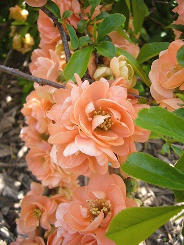 Cameo Flowering Quince - Chaenomeles - Also Bonsai