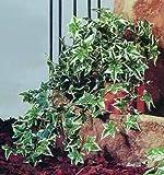 Hollandefeubusch dicht 180 Blätter 60cm
