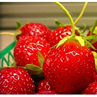 Mara Des Bois French Everbearing Strawberry Bare Root Plants - BEST FLAVOR!