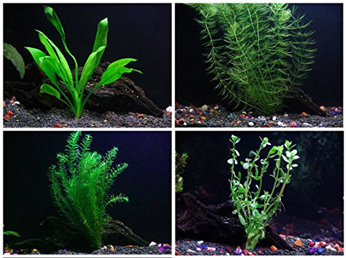 Easy Live Aquarium Plants Package - 4 Kinds - Anacharis, Amazon and more! (Aquarium Plants Package compare prices)