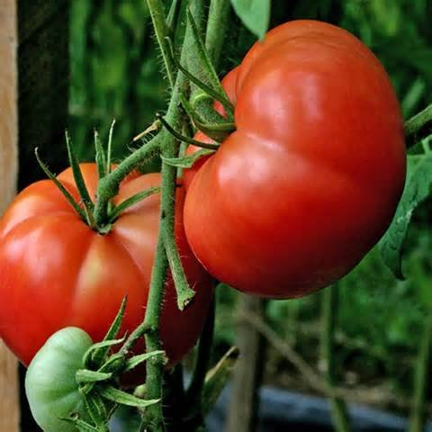 Big Boy Hybrid Tomato 200 Seeds #996 Item Upc#636134973325 (Hybrid Tomato Plants compare prices)