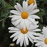 Biocarve Chrysanthemum paludosum- Pack of 200 Seeds