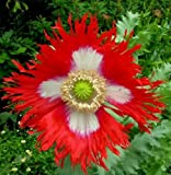Danish Flag Afghan Poppy 250 Seeds - Papaver Somniferum