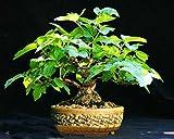 GUELDER ROSE Water elder - 50 seeds bonsai - Viburnum opulus