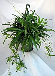 "Shamrock Spider Plant – Easy to Grow – Cleans the Air – 6"" Hanging Basket"