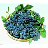 "Blueray Blueberry Plant - 20 Pounds of Berries per Bush - 7""/12"" - 4"" Pot"