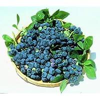 Blueray Blueberry Plant - 20 Pounds of Berries per Bush - 7