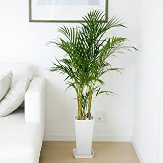 アレカヤシはおすすめの観葉植物