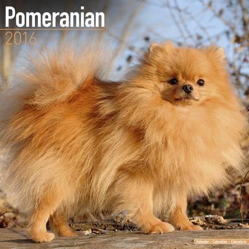 Pomeranian Calendar 2016 (Square)