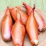 SeeKay Shallot Zebrune Appx 120 seeds
