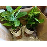 Coffee Bean Plant Seeds ★ COLUMBIAN ★ Tropical House Plant ★ 25 Seeds