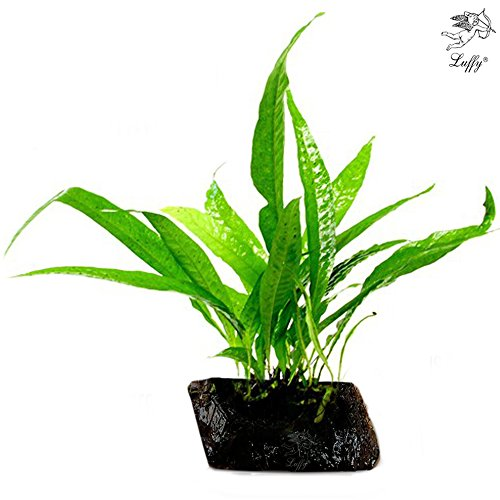 LUFFY Philippines Java Fern: Beautiful and Hardy Aquarium-Ready Live Plant (Aquarium Plants Package compare prices)