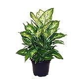 Delray Plants Dieffenbachia Exotica in Pot