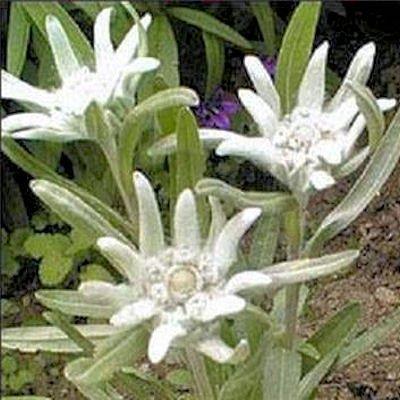 EDELWEISS LEONTOPODIUM ALPINUM rock garden 10 seeds