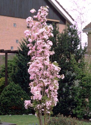produkt bild japanische s ulenzierkirsche wei rosa bl hend 1 pflanze. Black Bedroom Furniture Sets. Home Design Ideas