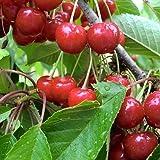 【サクランボ 苗木】 紅さやか 13.5cmポット苗