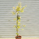 庭木:カエデ(花散里・ポット) 樹高:約70cm