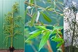 Salix alba Tristis Trauerweide Hängeweide 150-175 Laubbaum sommergrün
