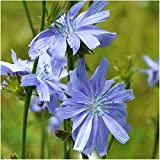 Package of 500 Seeds, Italian Dandelion / Chicory Wildflower (Cichorium intybus) Seeds by Seed Needs