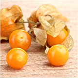Package of 50 Seeds, Ground Cherry Tomatillo (Physalis pubescens) Non-GMO Seeds By Seed Needs