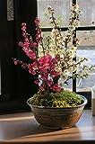 2015年の新春の 香りとお花の贈り物 紅白梅盆栽    とても おめでたい紅白梅 贈り物や プレゼントに 紅白梅盆栽が最適です。