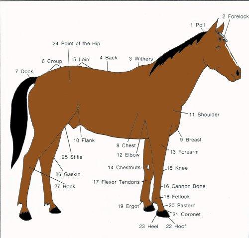 Basic Horse 101 PDF
