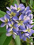 Indian Nursery Poung Sawan Fragrant Plumeria Cutting With Rooted -1 FT,Multicolor