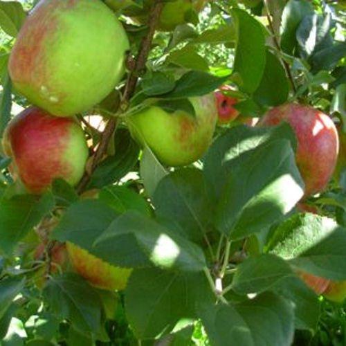 HONEYCRISP apple tree sweet & tart 10 seeds