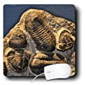 3dRose LLC 8 x 8 x 0.25 Inches Mouse Pad, Phacopida Trilobite from The Devonian in Morocco (mp_16702_1)