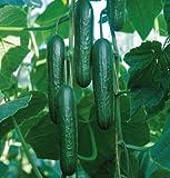 Slicing Cucumber Socrates D2989A (Green) 10 Organic Hybrid Seeds by David's Garden Seeds