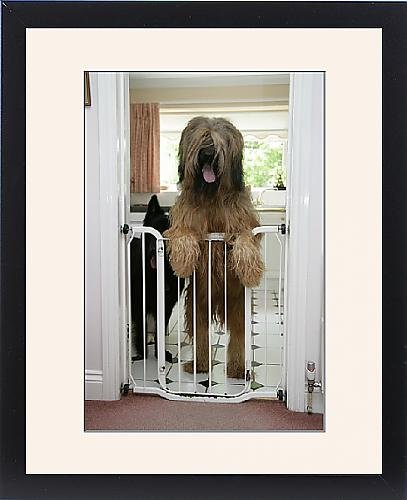 Framed Print Of Dog - Briard Dog Behind Baby Gate, Looking Over front-904136