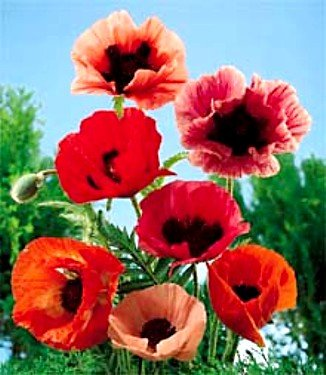 Buy Mixed Oriental Poppy 100 Seeds – SALE* – FREE SHIPPING ON ADDITIONAL HIRTS SEEDS