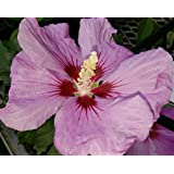 Violet Satin® Hibiscus Rose of Sharon - Richest/Deepest - Proven Winners