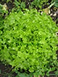 Premier Seeds Direct ORG067 Lettuce Salad Bowl Green Organic Seeds (Pack of 2000)
