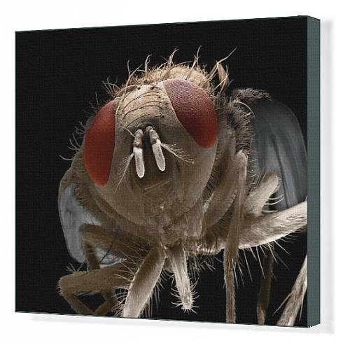 Canvas Print Of Lrds-72 House Fly From Ardea Wildlife Pets