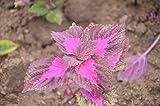 100個/袋虹コリウスの種子、美しい花、植物、バルコニー鉢植え盆栽の混合色