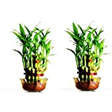 Green Plant Indoor 2 Layer Lucky Bamboo Plants (Set Of 2 PCS)