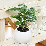 観葉植物(生花) コーヒーの木 陶器鉢(鉢皿付) 高さ25cm~30cm
