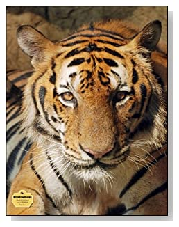 Tiger Face Notebook - The bold look of this tiger makes a dramatic cover for this blank and wide ruled notebook with blank pages on the left and lined pages on the right.