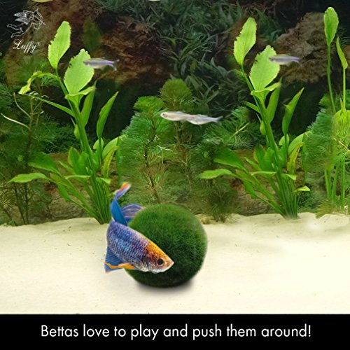 2 luffy betta ball live round shaped marimo plant for for Betta fish plant