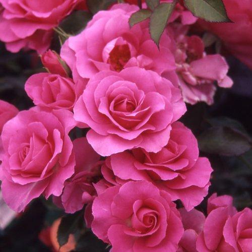 四季咲中輪バラ:ローズうらら大苗[春から秋まで絶え間なく咲く強健種・JRC金賞受賞]