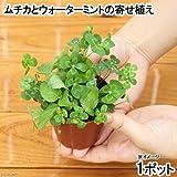 (ビオトープ/水辺植物)メダカの鉢にも入れられる水辺植物! ムチカとウォーターミントの寄せ植え(1ポット) 本州・四国限定[生体]