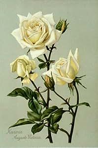 BOTANICAL ANTIQUE PRINT-LITHO-ROSE -1899