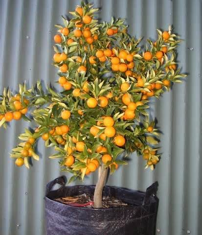 where buy kumquats