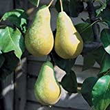 1X 4FT+ PYRUS CONFERENCE PEAR TREE - HIGH QUALITY TREES - B/R