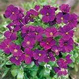 Premier Seeds Direct AUB03F 0.15 g Aubretia Gracillis Rock Cress Royal Violet Seeds (Pack of 315)