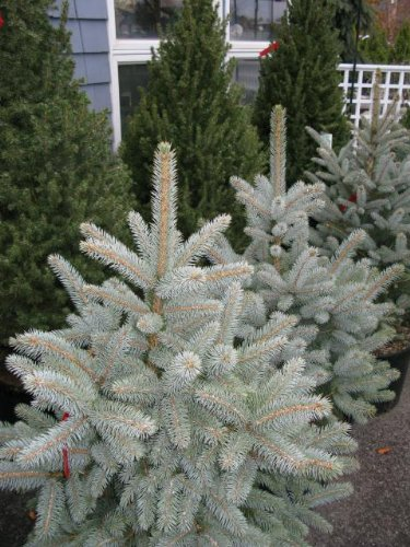 Baby Blue Eyes Colorado Spruce 1 - Year Graft